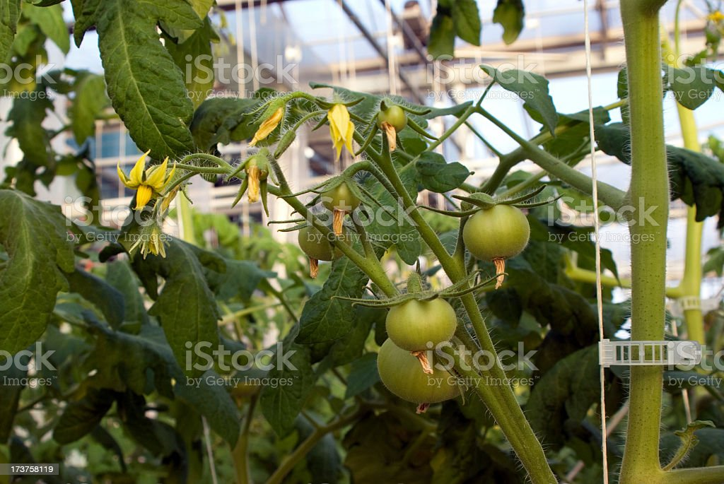 Hydroponic Tomato Blossoms royalty-free stock photo