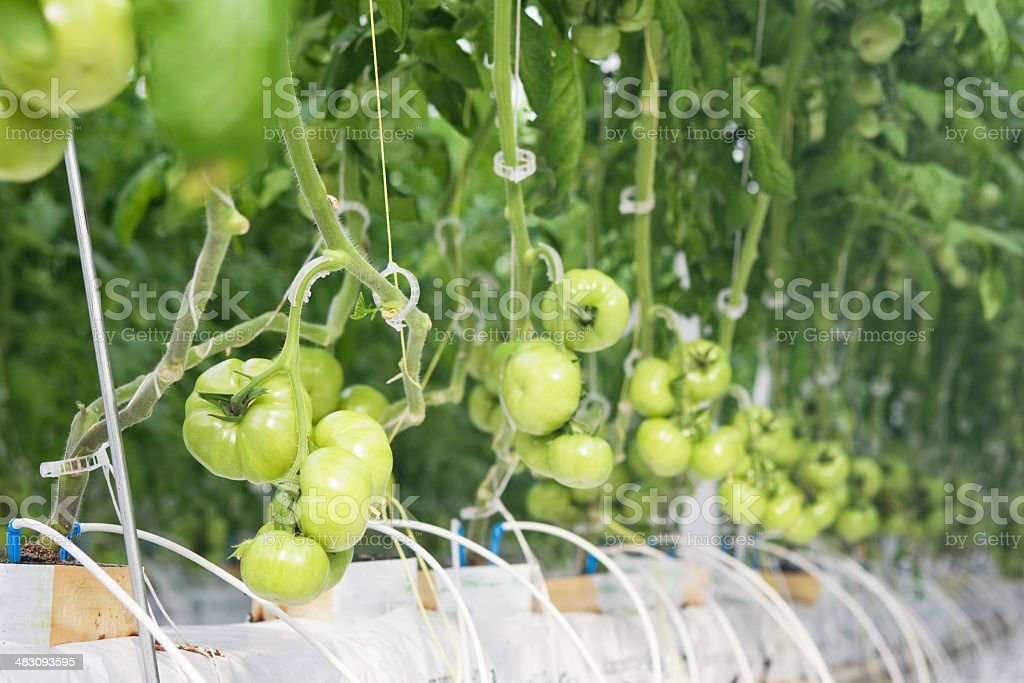 Hydroponic Tomato Plants in Commercial Greenhouse stock photo