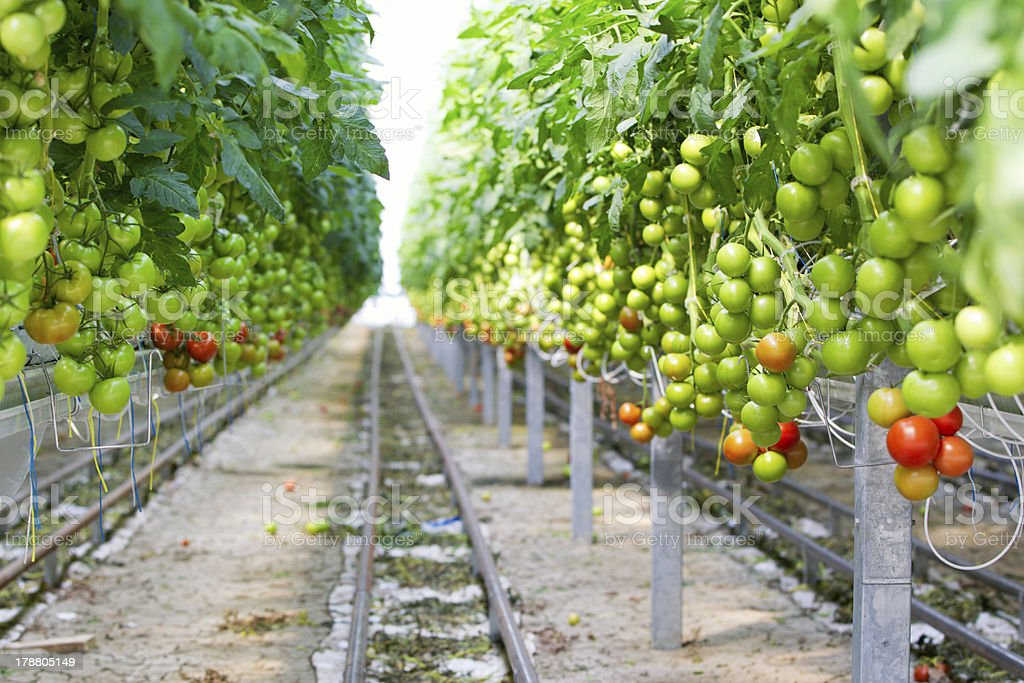 Hydroponic Tomato Plants in Greenhouse royalty-free stock photo