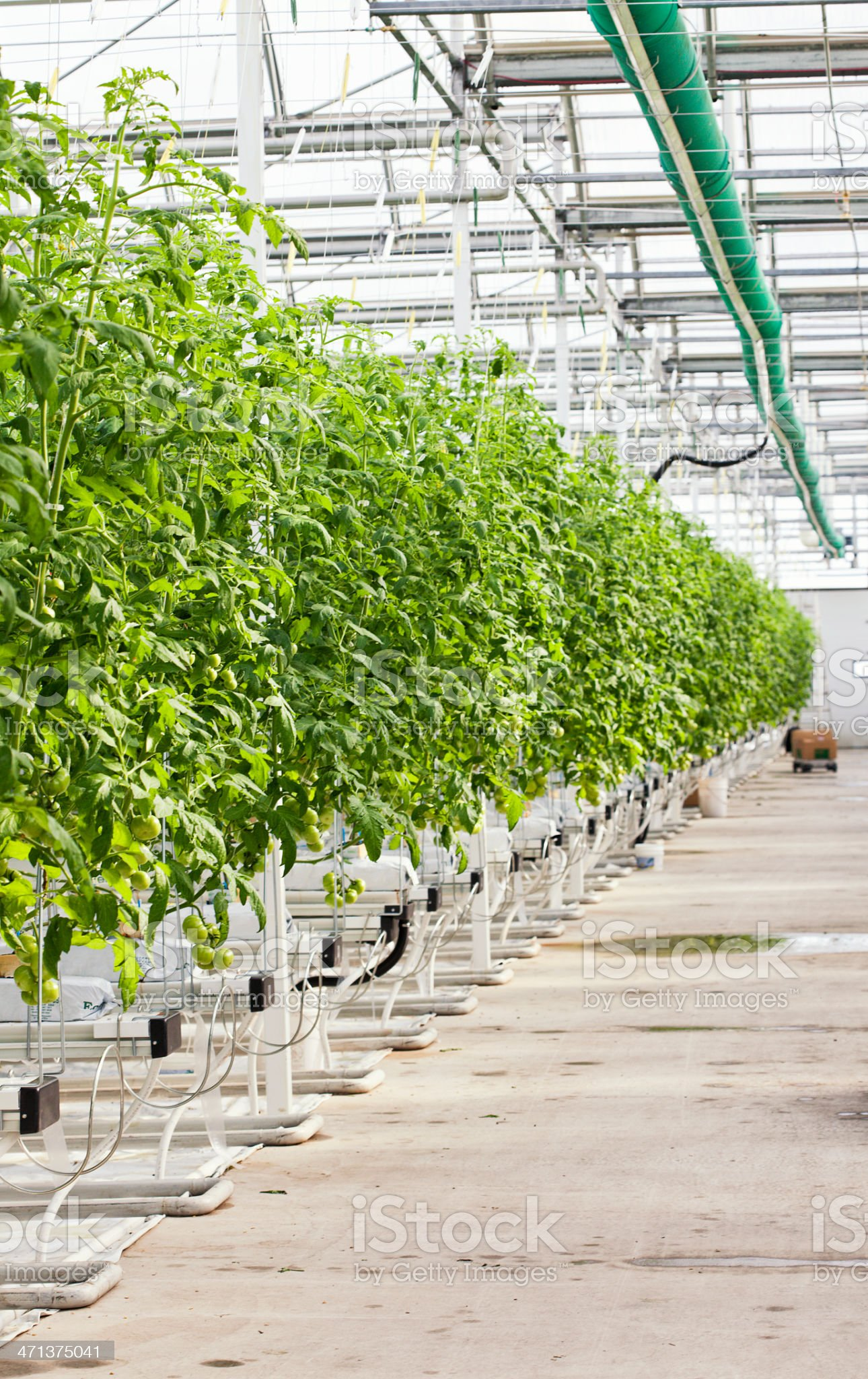 Hydroponic Tomatoes in Commercial Greenhouse royalty-free stock photo
