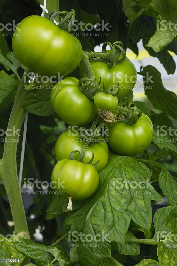 Hydroponic Tomatoes Ripening on the Vine royalty-free stock photo