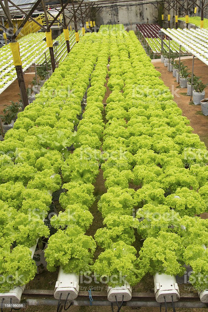 Hydroponic vegetable farm royalty-free stock photo