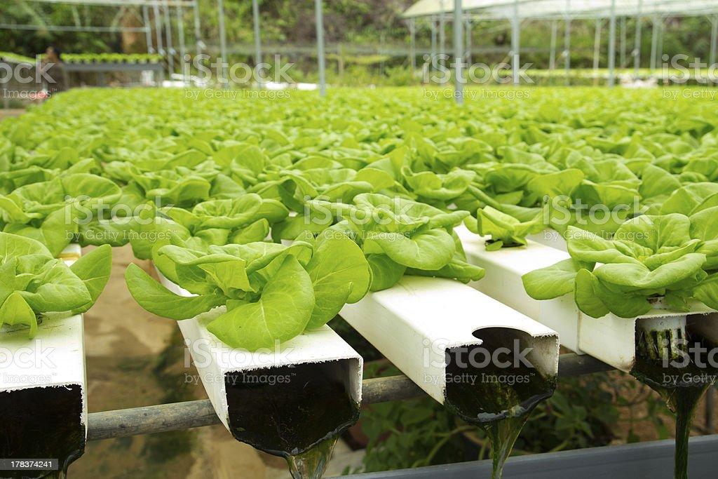 Hydroponic vegetable farm royalty-free stock photo