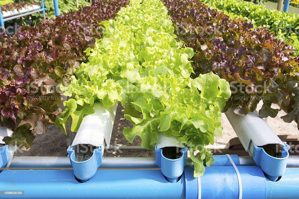 hydroponic vegetable garden stock photo