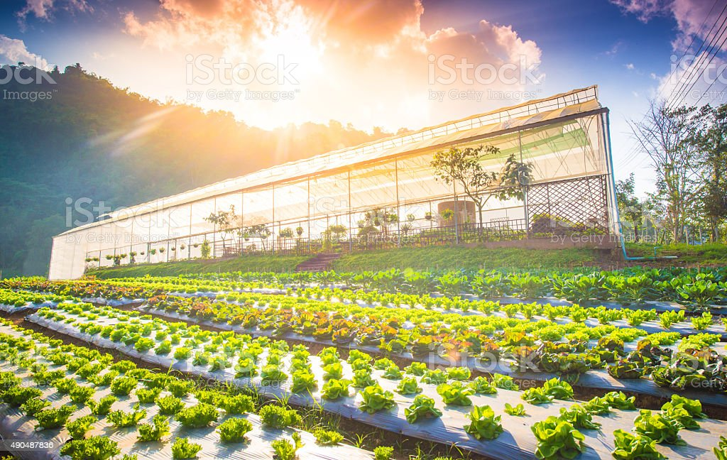 Hydroponic vegetable in a garden. stock photo