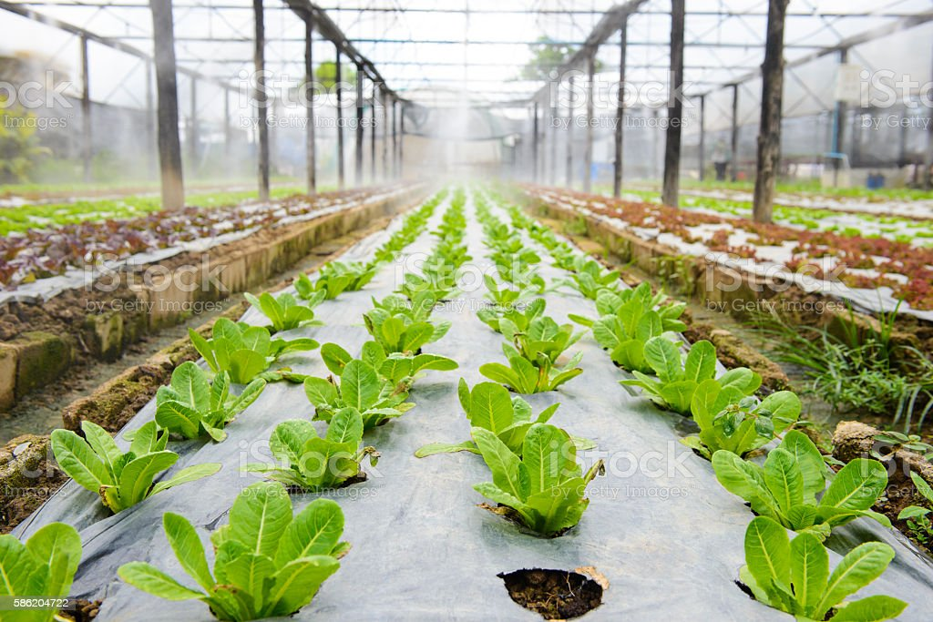 Hydroponic vegetable in a garden stock photo