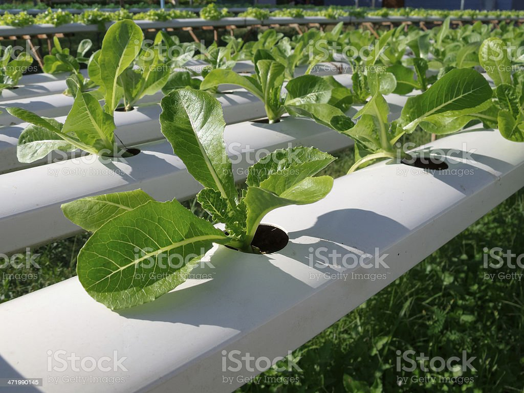 Hydroponic vegetable in garden. royalty-free stock photo