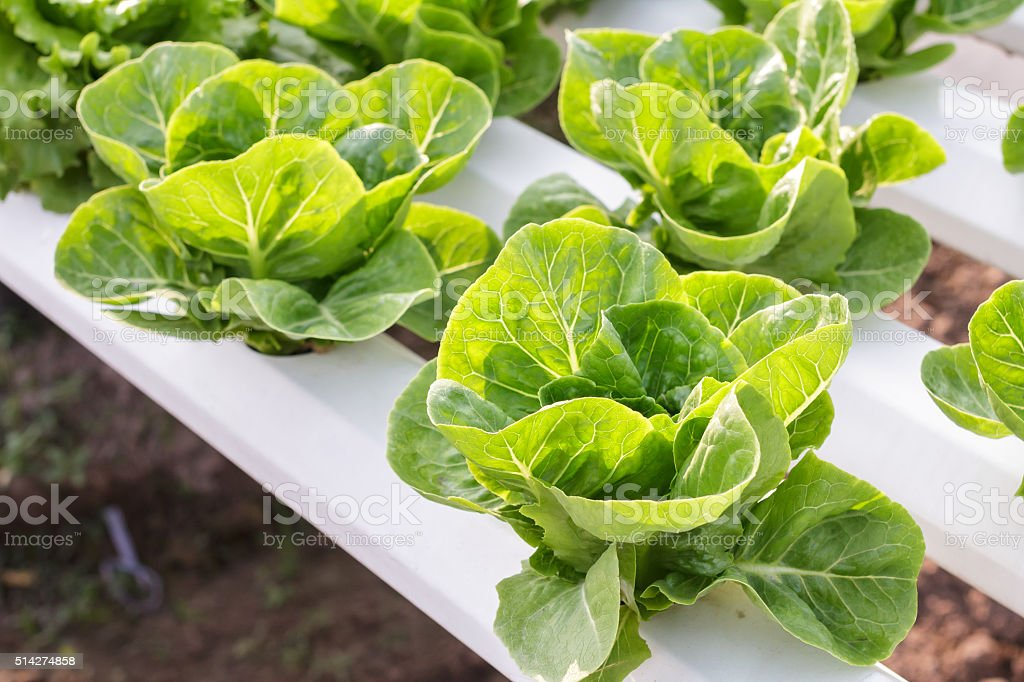 Hydroponic vegetable is planted in a garden, Fresh vegetable. stock photo