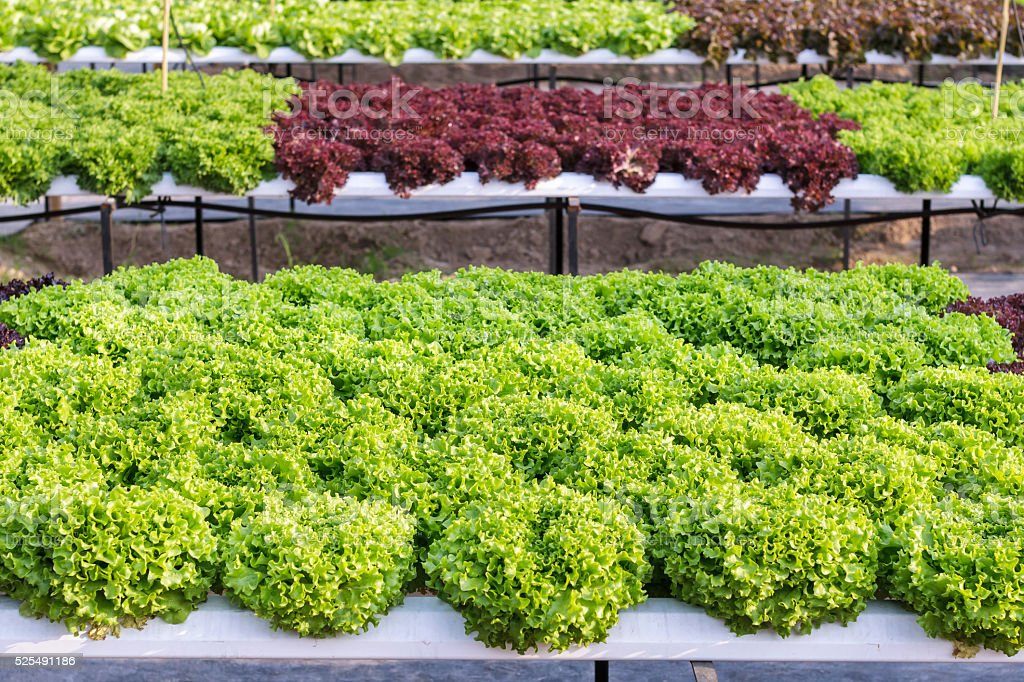 Hydroponic vegetable is planted in a garden. Salad vegetable. Fr stock photo