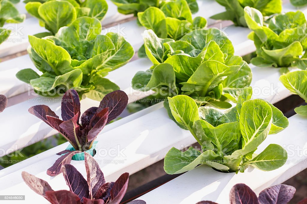 Hydroponic vegetable is planted in a garden. Salad vegetable. stock photo