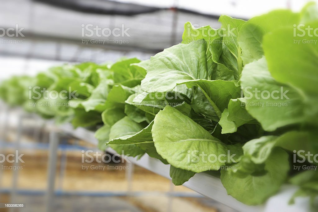 Hydroponic vegetable (Green Cos) royalty-free stock photo