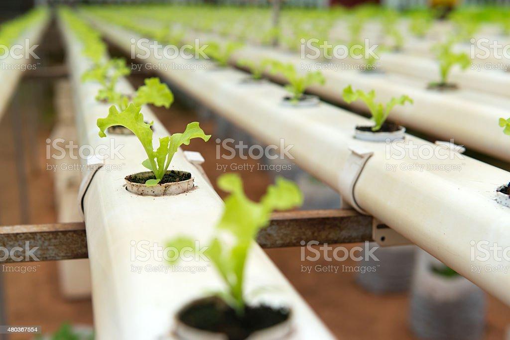 Hydroponic vegetable stock photo