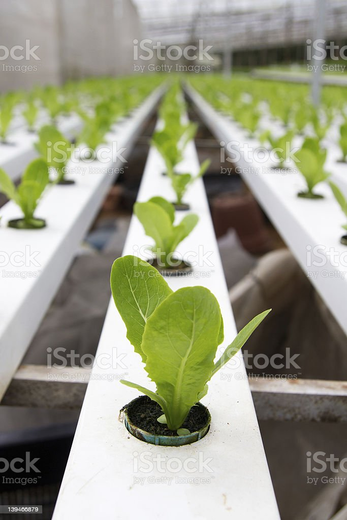 Hydroponic vegetable plantation royalty-free stock photo