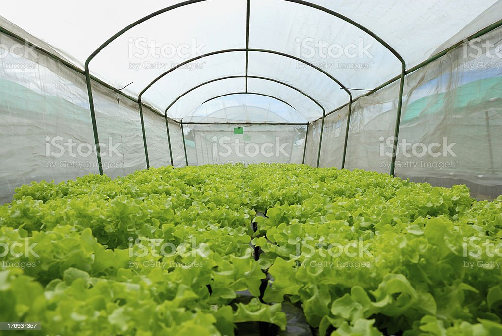 Hydroponic vegetables in covered netting royalty-free stock photo