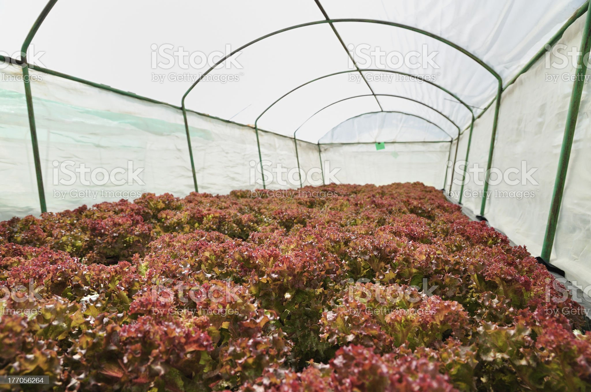 Hydroponic Vegetables (Lettuce) in Covered Netting royalty-free stock photo