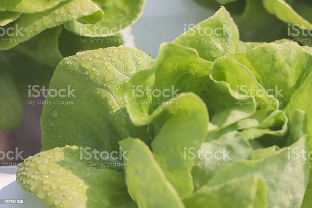 hydroponic vegetables in organic farm stock photo