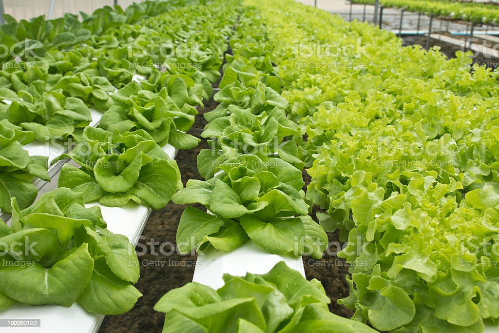 Hydroponic Vegetables royalty-free stock photo