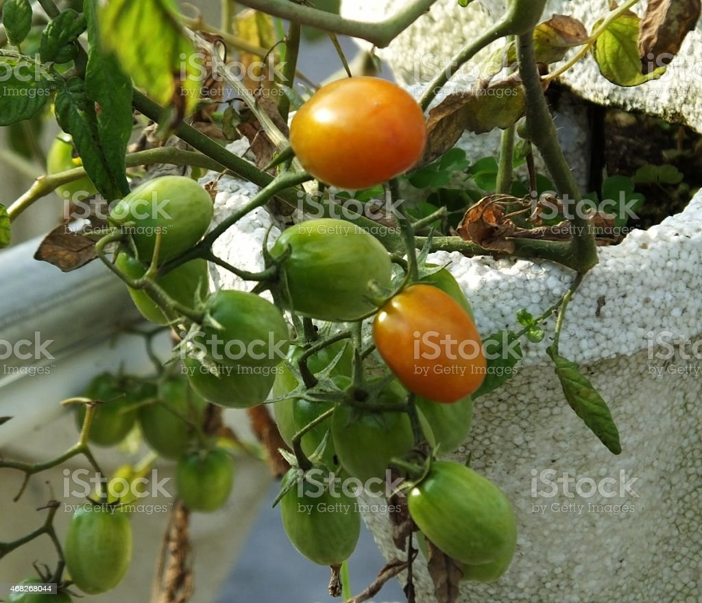 Hydroponically Grown Cherry Tomatoes stock photo
