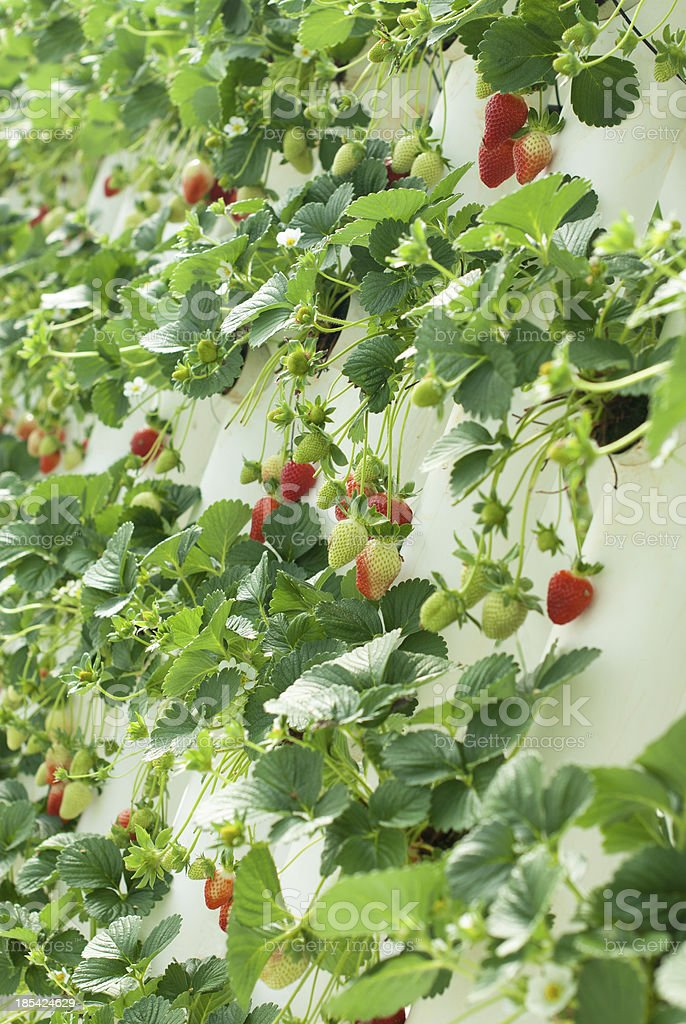 Hydroponically Grown Strawberry Vines stock photo