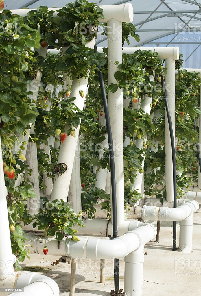Hydroponically Grown Strawberry Vines royalty-free stock photo