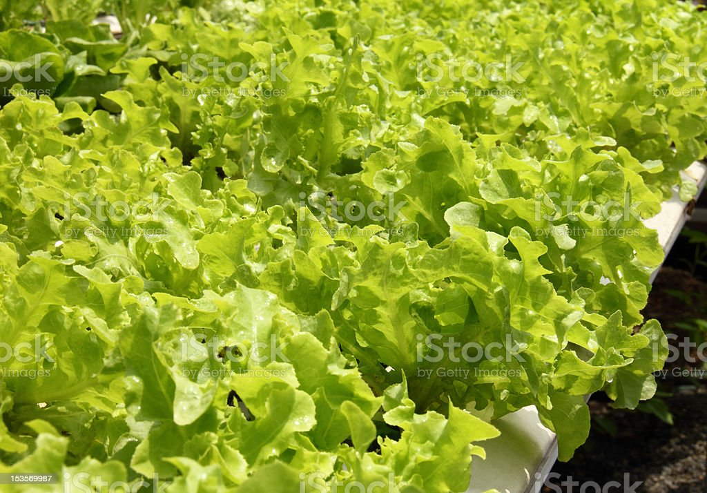Hydroponics farm royalty-free stock photo