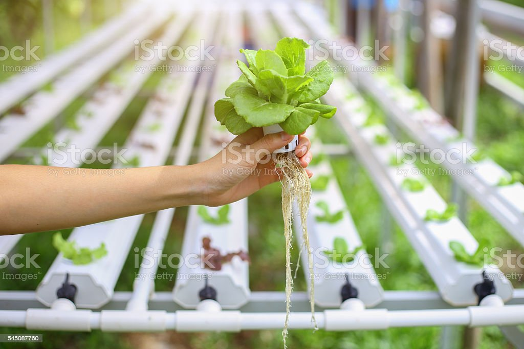 Hydroponics method of growing plants using mineral nutrient solu stock photo