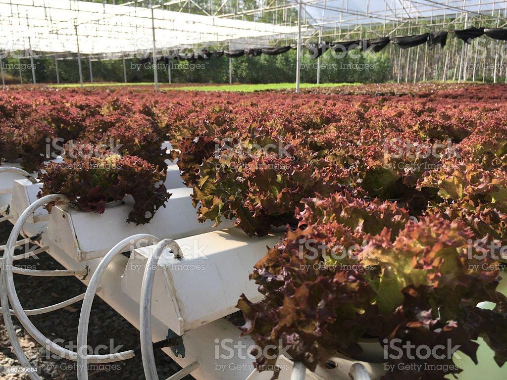 Hydroponics plants stock photo