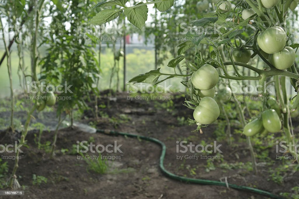 Hydroponics tomatoes and hose royalty-free stock photo