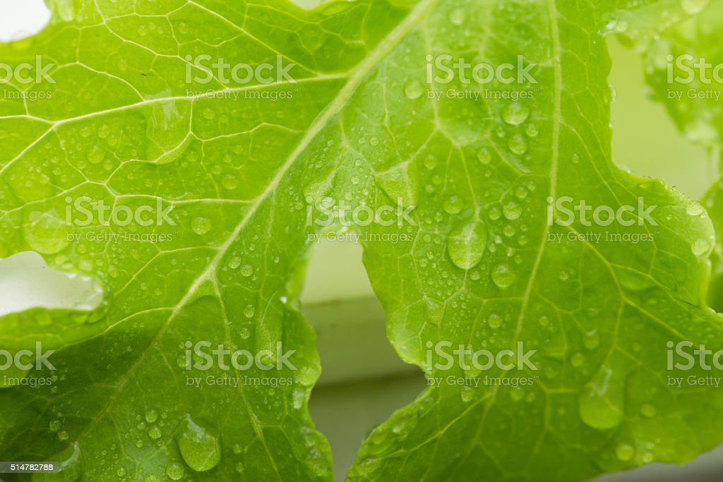 Hydroponics vegetable background stock photo