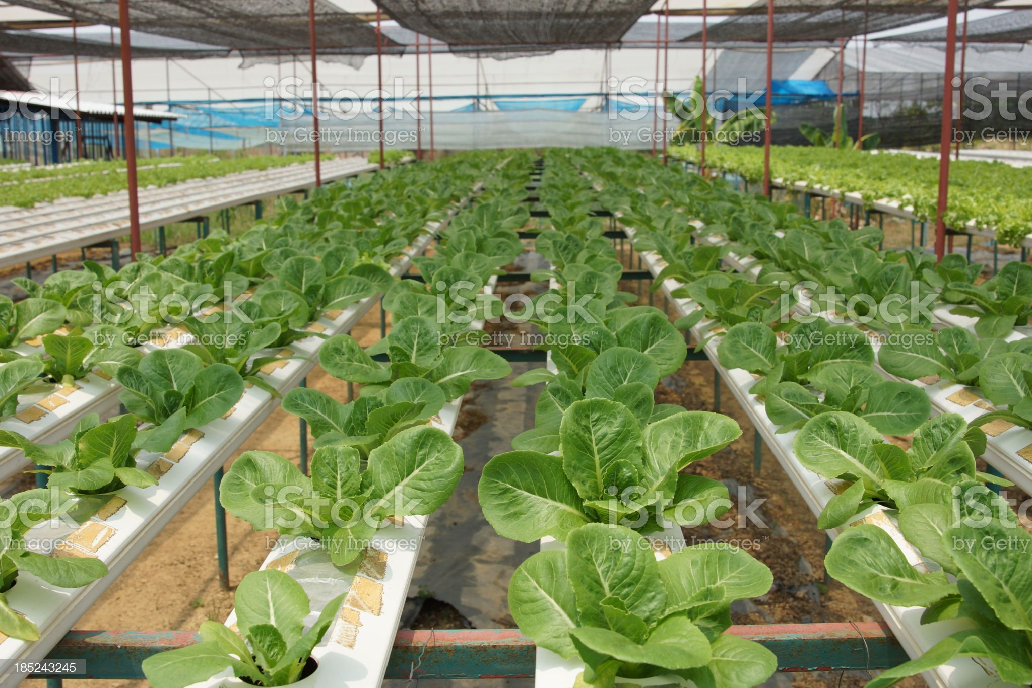 Hydroponics Vegetable Farm Green Cos Lettuce royalty-free stock photo