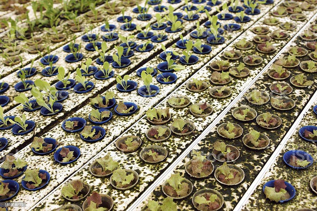 Hydroponics Vegetable Farm Green Salad royalty-free stock photo