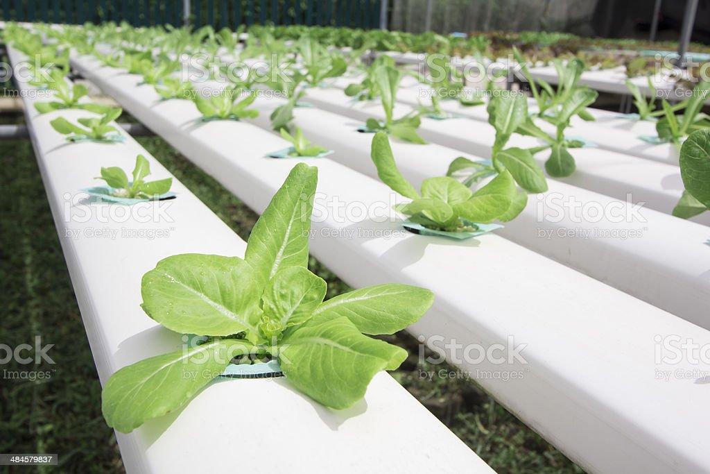 Hydroponics vegetable farm royalty-free stock photo