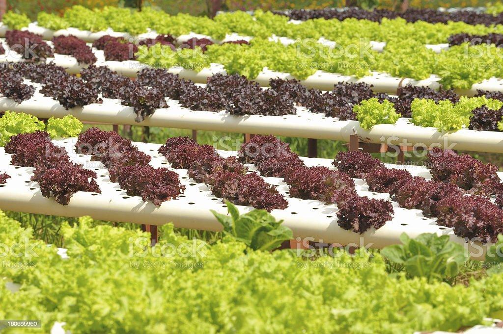 Hydroponics vegetable farming royalty-free stock photo