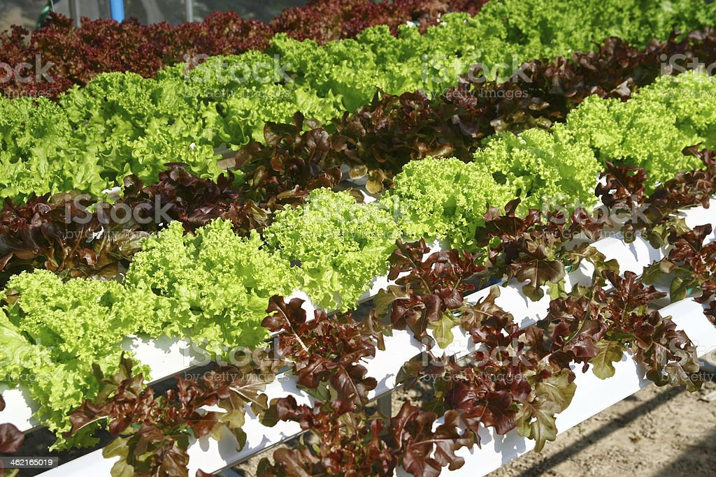 Hydroponics vegetable farming royalty-free stock photo