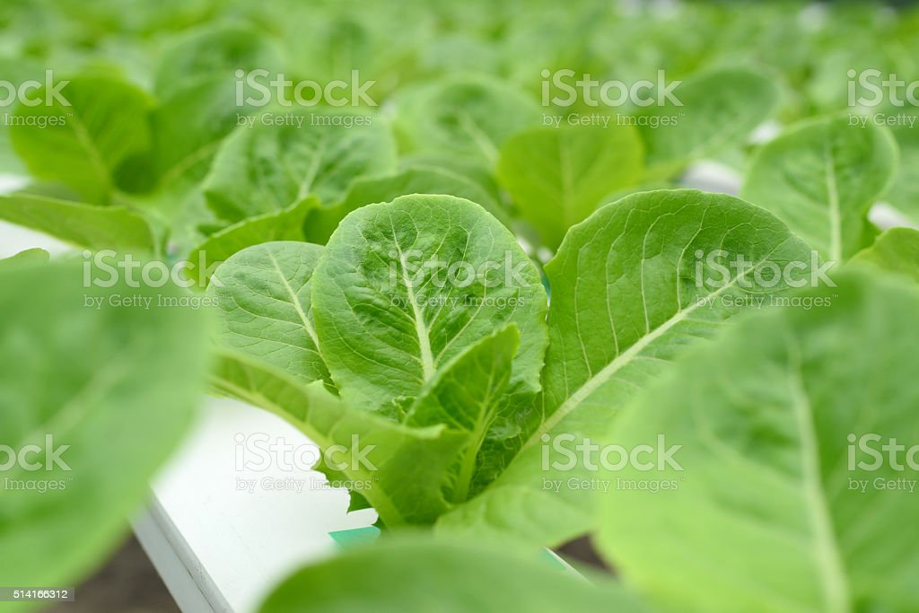 Hydroponics vegetable frame stock photo
