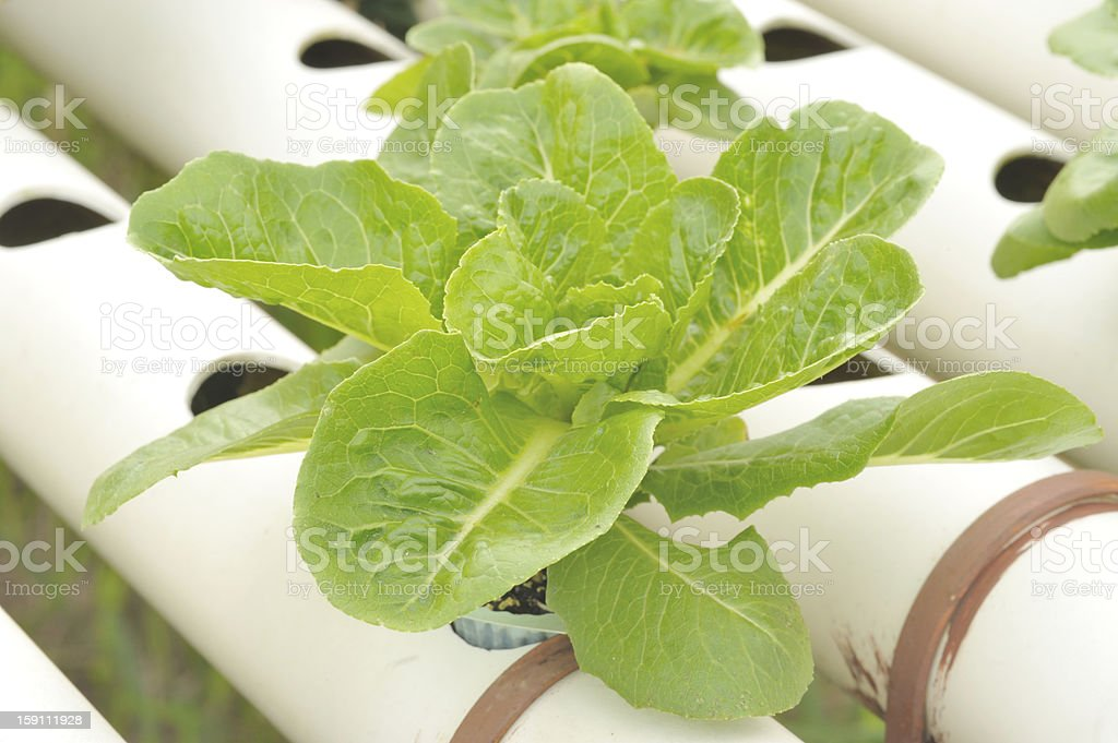 Hydroponics vegetable  garden royalty-free stock photo