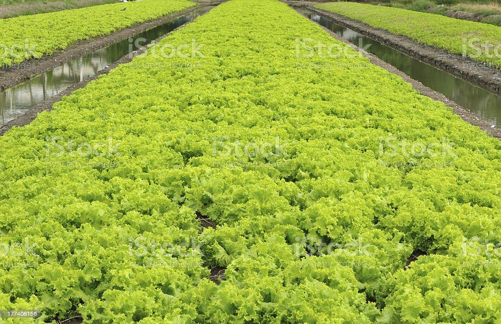 Hydroponics vegetable  garden royalty-free stock photo