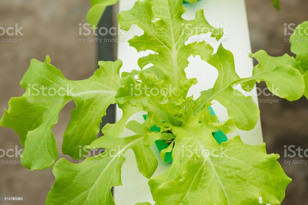 Hydroponics vegetable in farm, lettuce stock photo