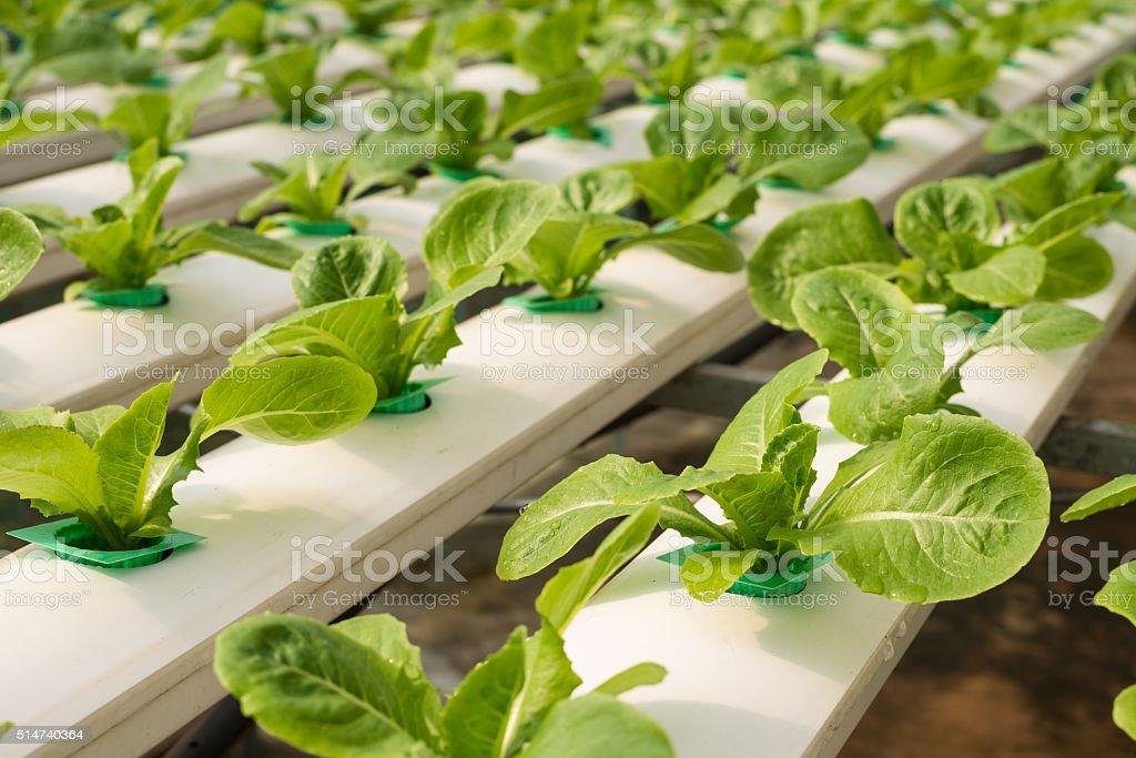 Hydroponics vegetable in farm stock photo