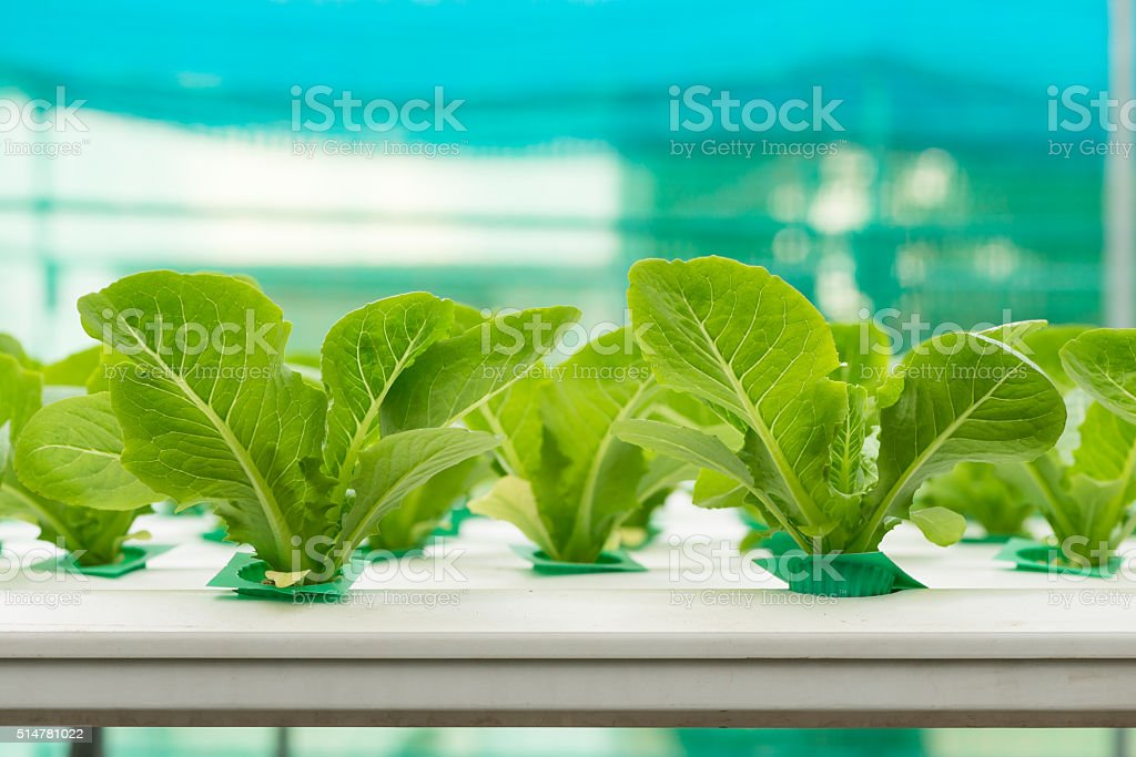 Hydroponics vegetable in farm stock photo
