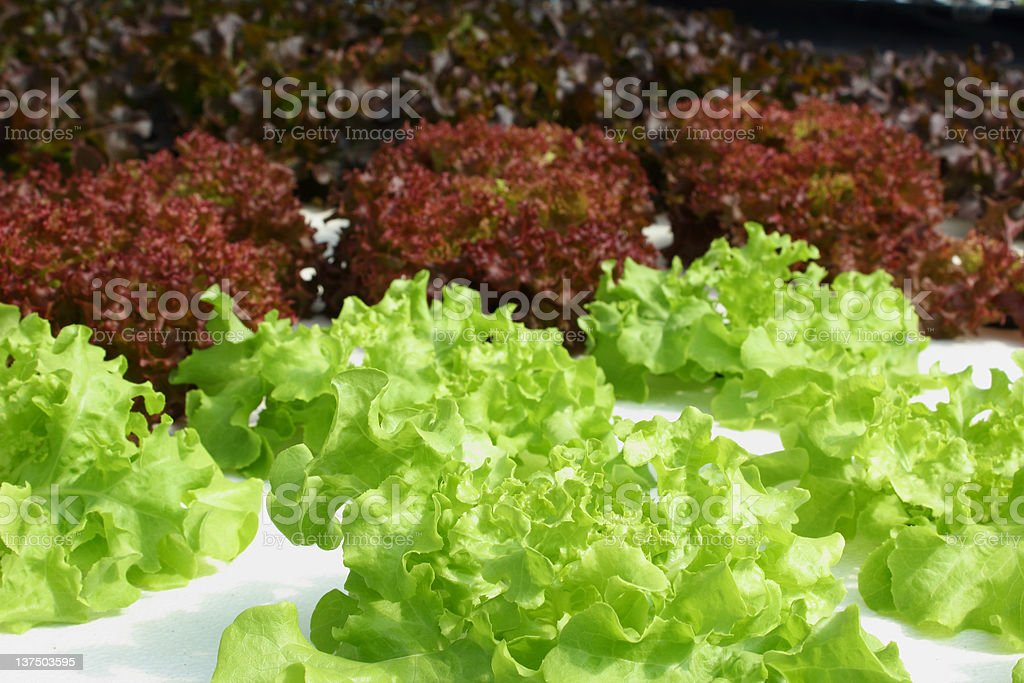Hydroponics vegetable royalty-free stock photo