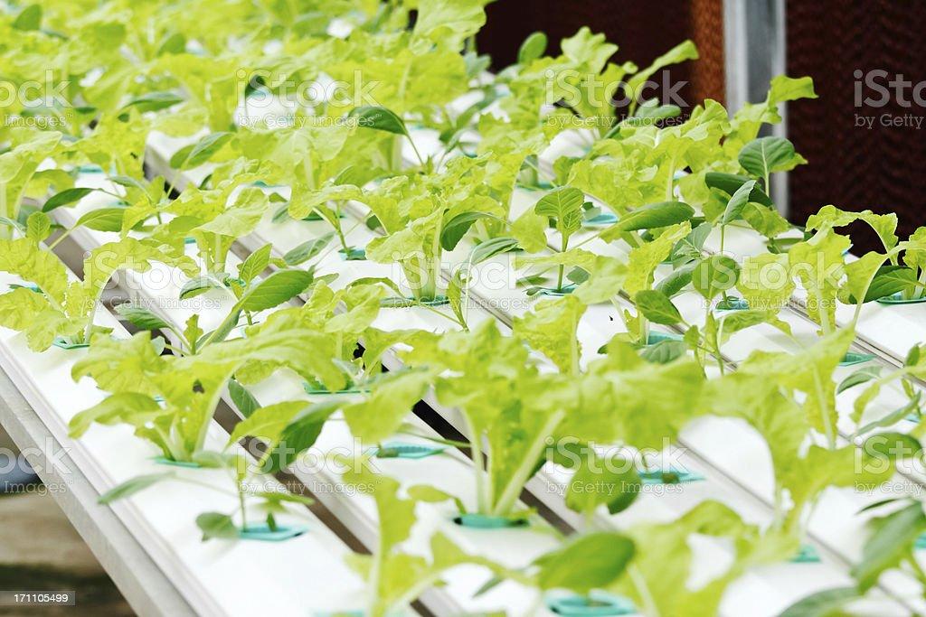 Hydroponics vegetable royalty-free stock photo