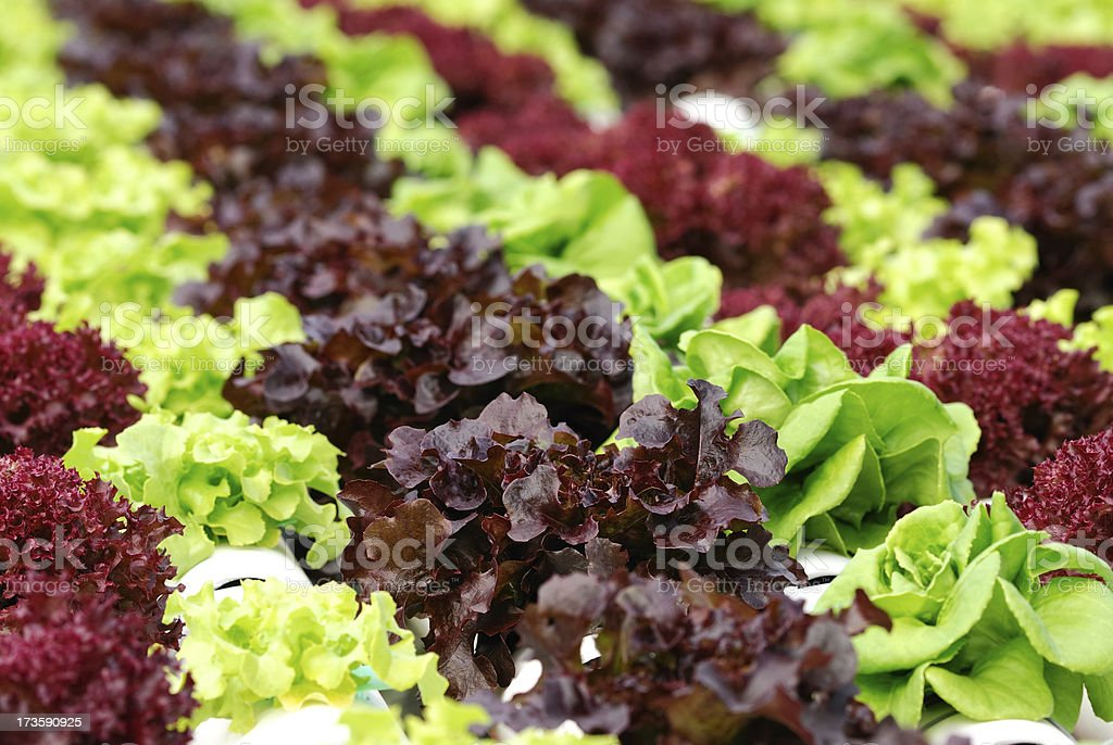 Hydroponics vegetable stock photo