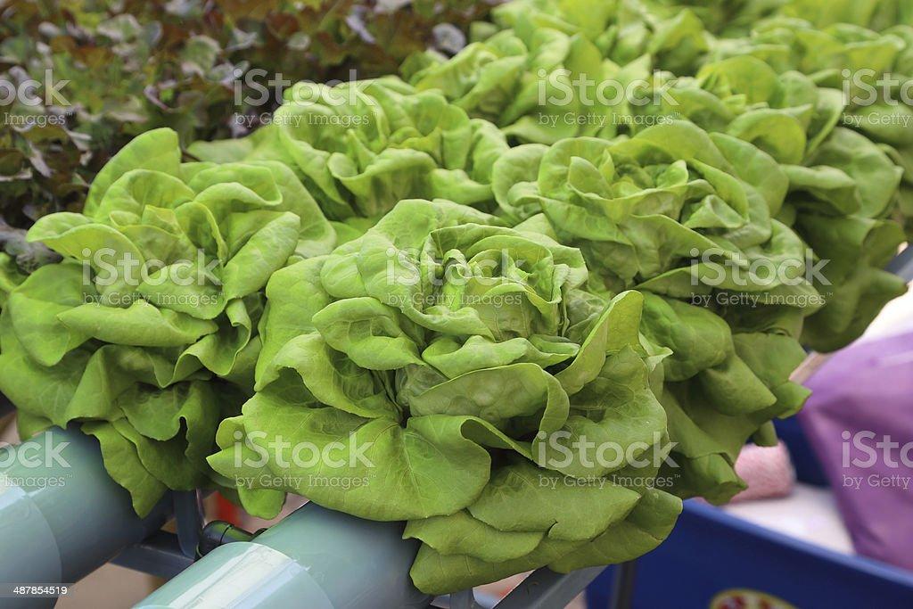 Hydroponics vegetable stock photo