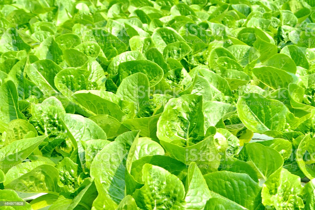 Hydroponics Vegetables stock photo
