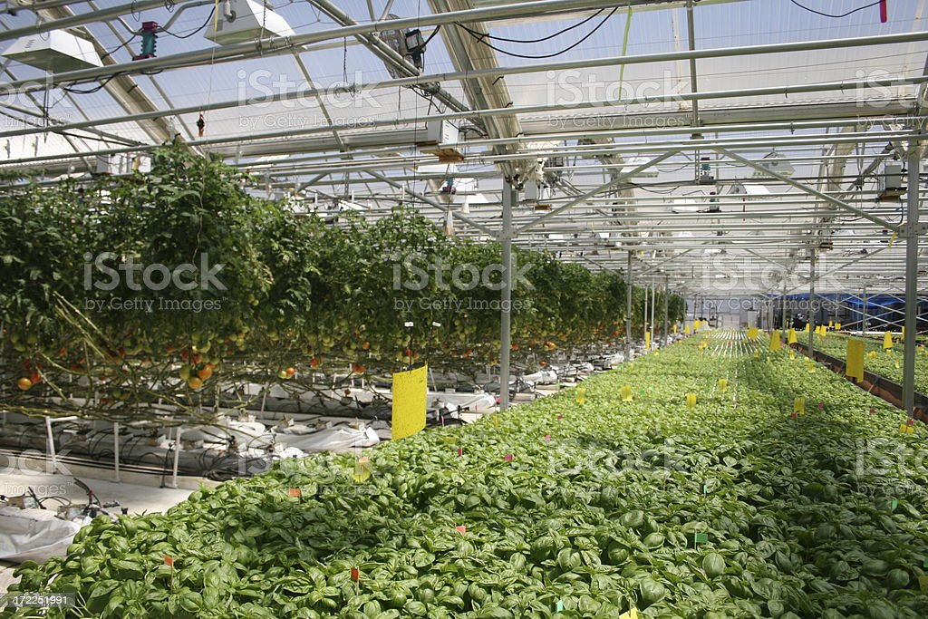 Hydrponic Basil and Tomato royalty-free stock photo
