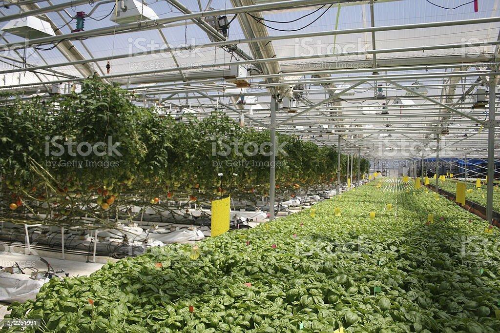 Hydrponic Basil and Tomato stock photo