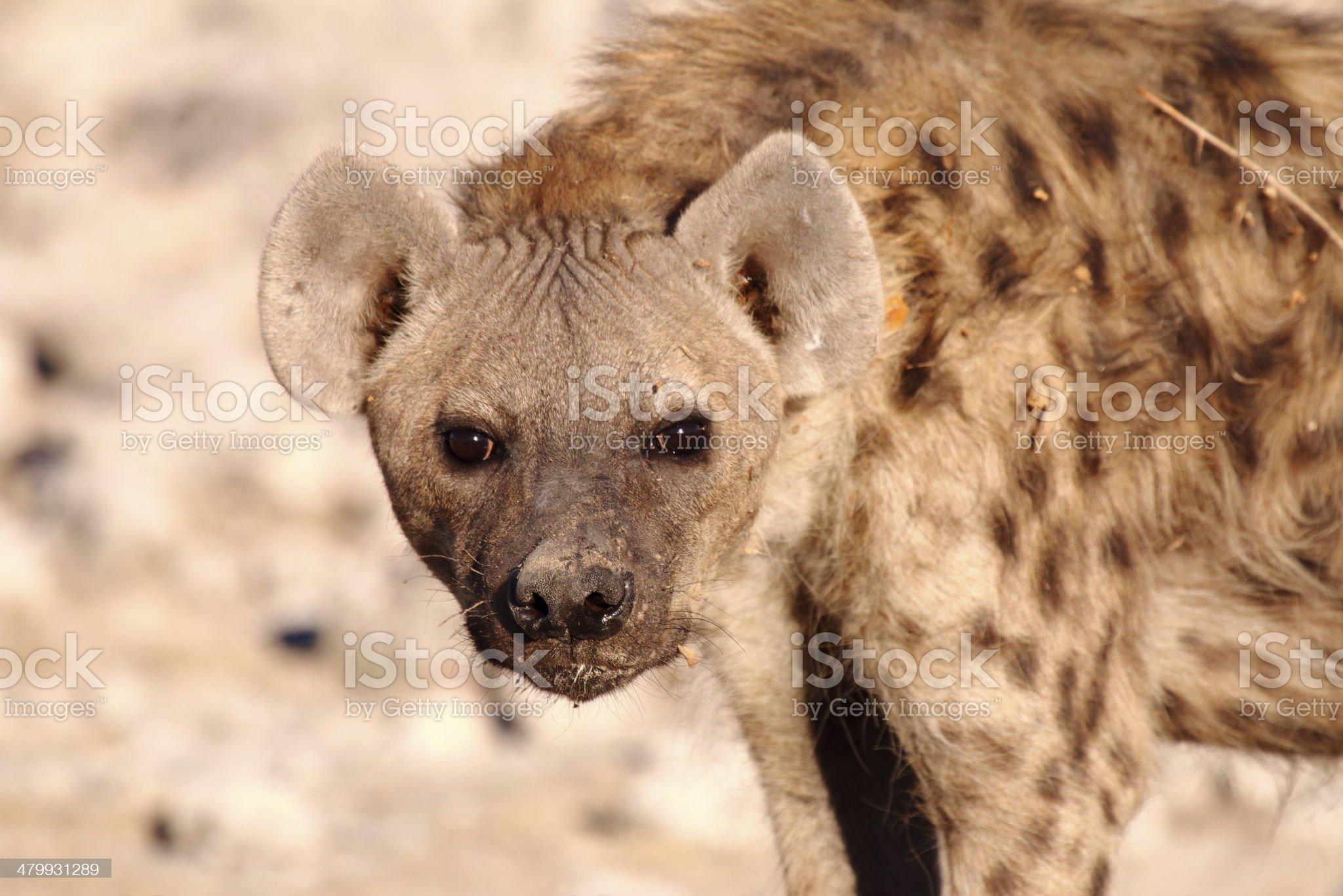 Hyena Close up royalty-free stock photo