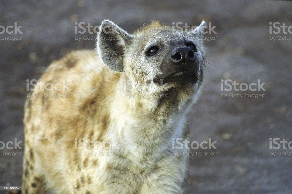 Hyena Close-up royalty-free stock photo