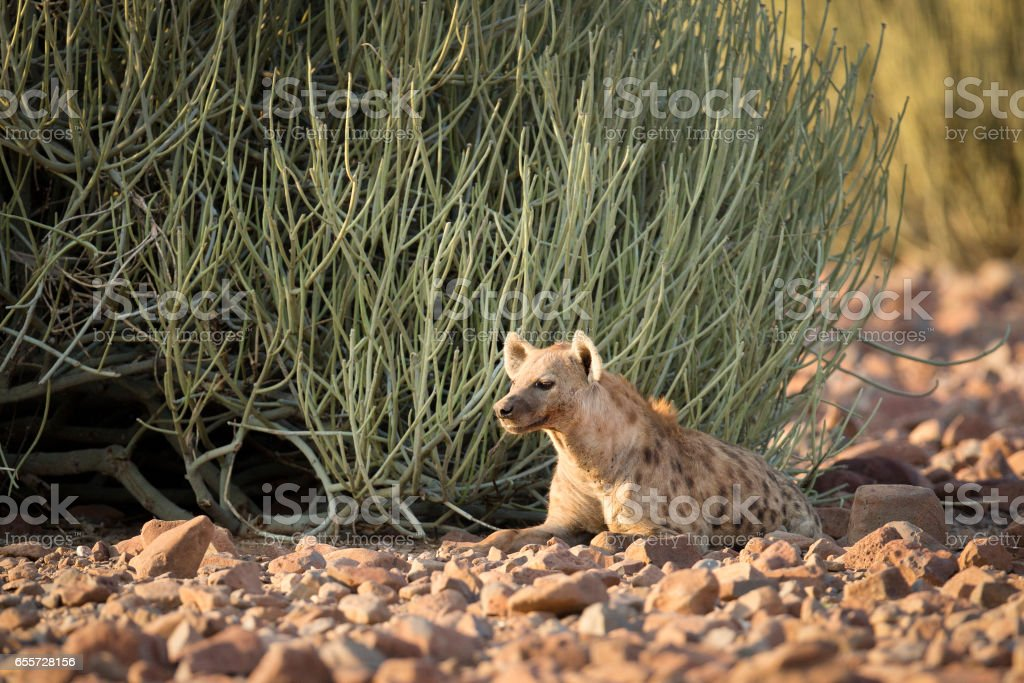 A Hyena in Palmwag Concession, Namibia. stock photo